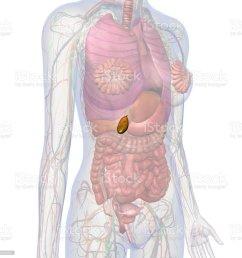 gallbladder and abdomen of female internal anatomy royalty free stock photo [ 1024 x 1024 Pixel ]