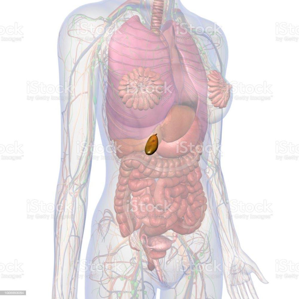 medium resolution of gallbladder and abdomen of female internal anatomy royalty free stock photo
