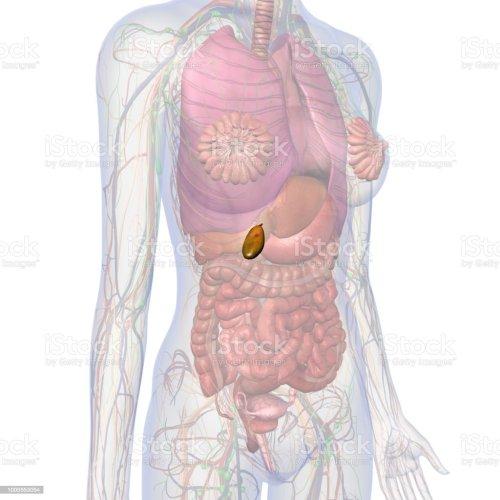 small resolution of gallbladder and abdomen of female internal anatomy royalty free stock photo