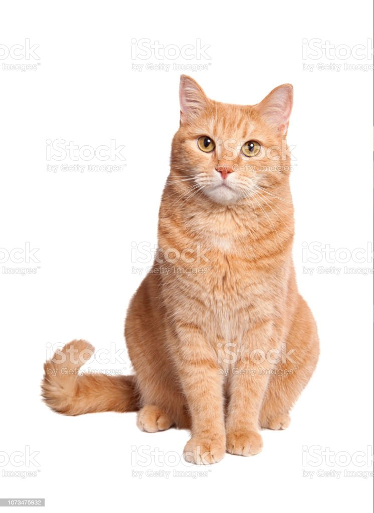 Orange Cat Pictures : orange, pictures, 31,126, Orange, Tabby, Stock, Photos,, Pictures, Royalty-Free, Images, IStock