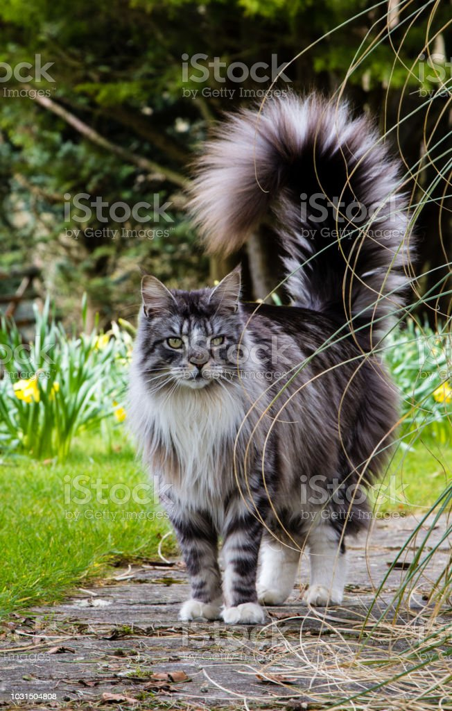 Grey And White Maine Coon : white, maine, White, Maine, Stands, Outdoors, Garden, Spring, Daffodils, Behind, Stock, Photo, Download, Image, IStock