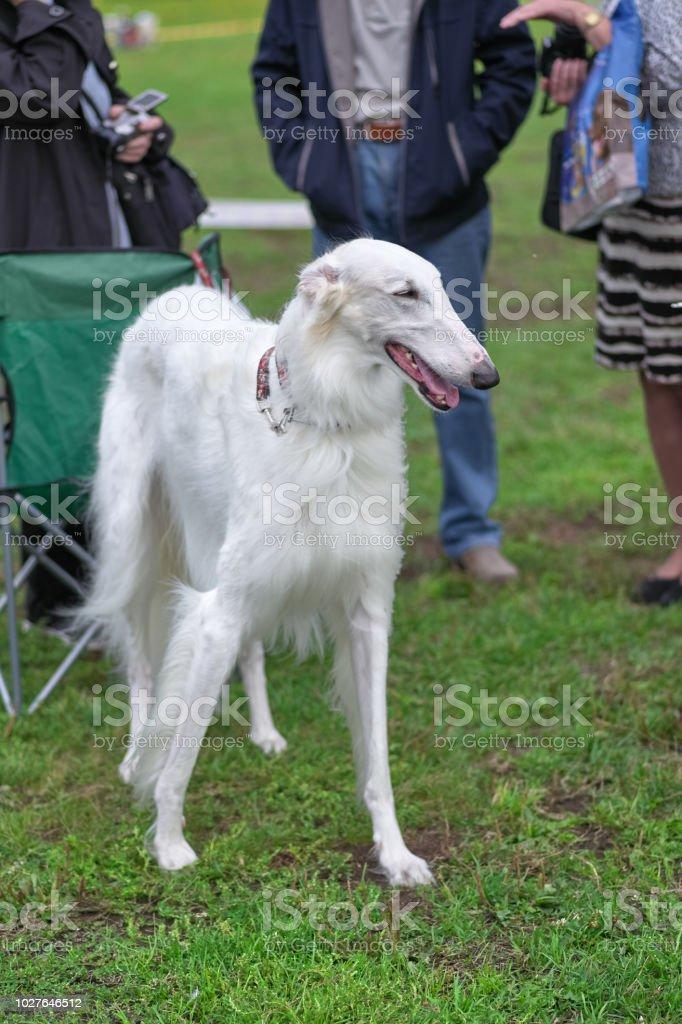 Long Haired Greyhound Dog : haired, greyhound, Greyhound, White, Closeup, Stock, Photo, Download, Image, IStock