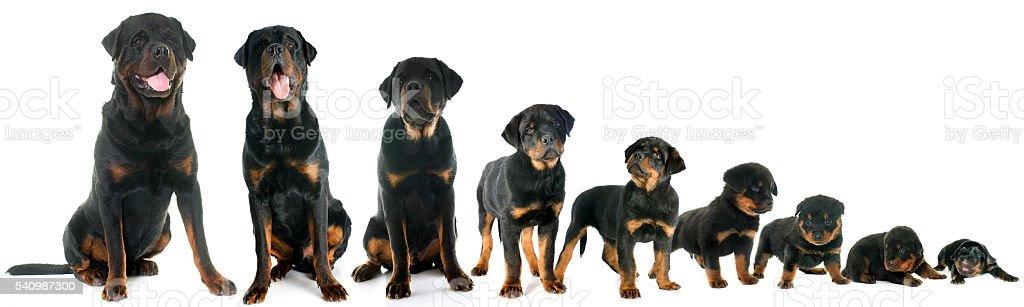 Rottweiler Puppy Growth Chart Homeschoolingforfree