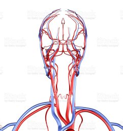 head and neck vessels royalty free stock photo [ 1024 x 963 Pixel ]