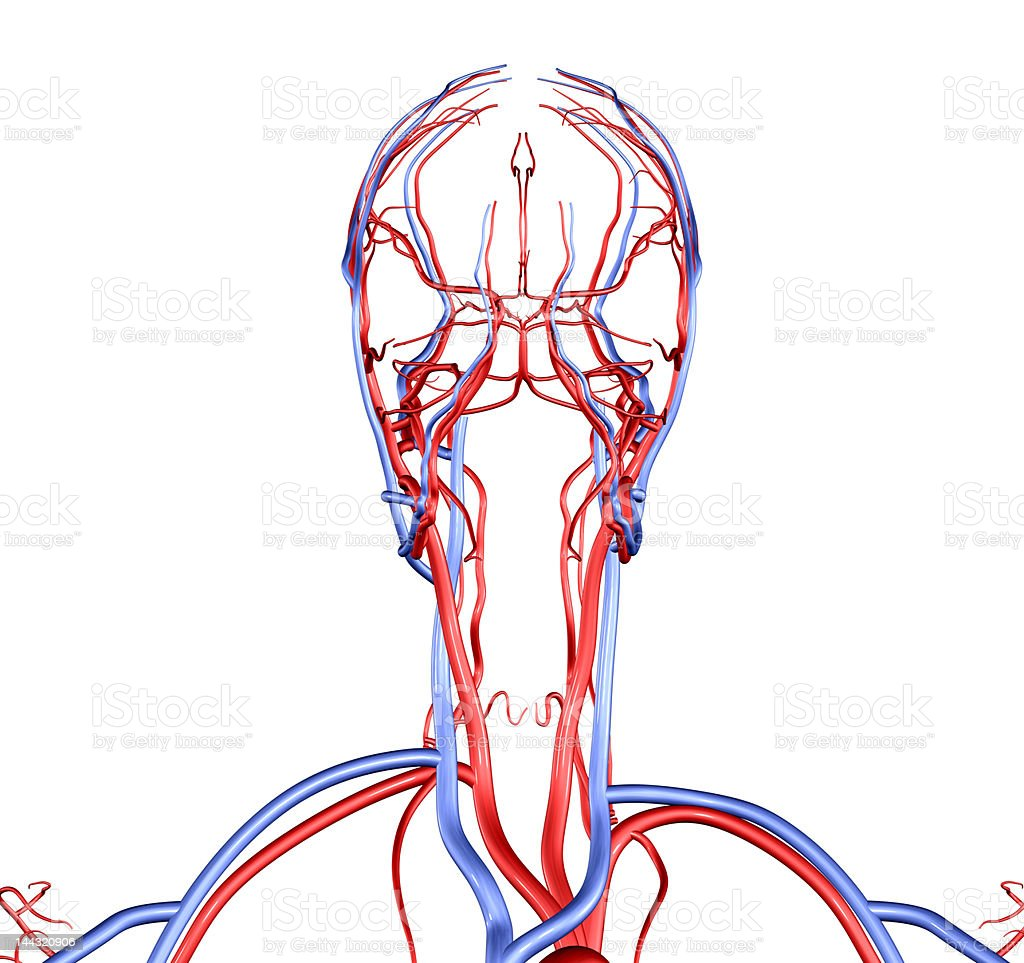 hight resolution of head and neck vessels royalty free stock photo