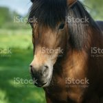 Head Shot Of Beautiful Brown Horse Standing In Shadow Stock Photo Download Image Now Istock