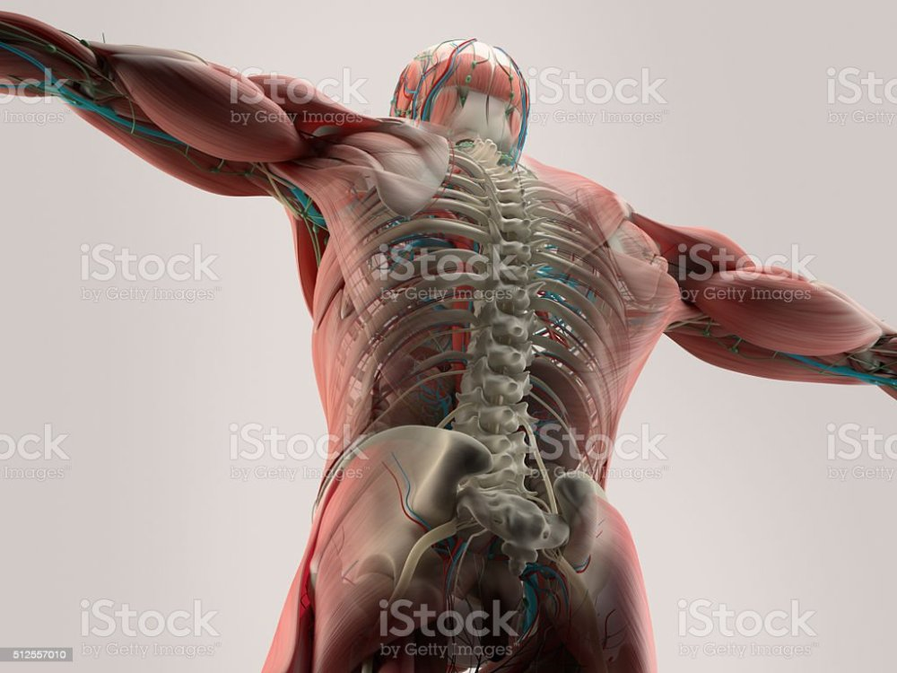 medium resolution of human anatomy detail of back spine bone structure muscle royalty free