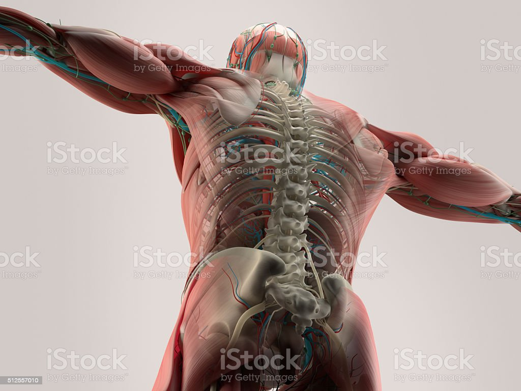 hight resolution of human anatomy detail of back spine bone structure muscle royalty free
