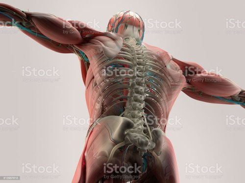 small resolution of human anatomy detail of back spine bone structure muscle royalty free