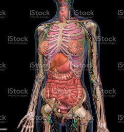 human anatomy of female chest and abdomen 2 royalty free stock photo [ 1024 x 1024 Pixel ]