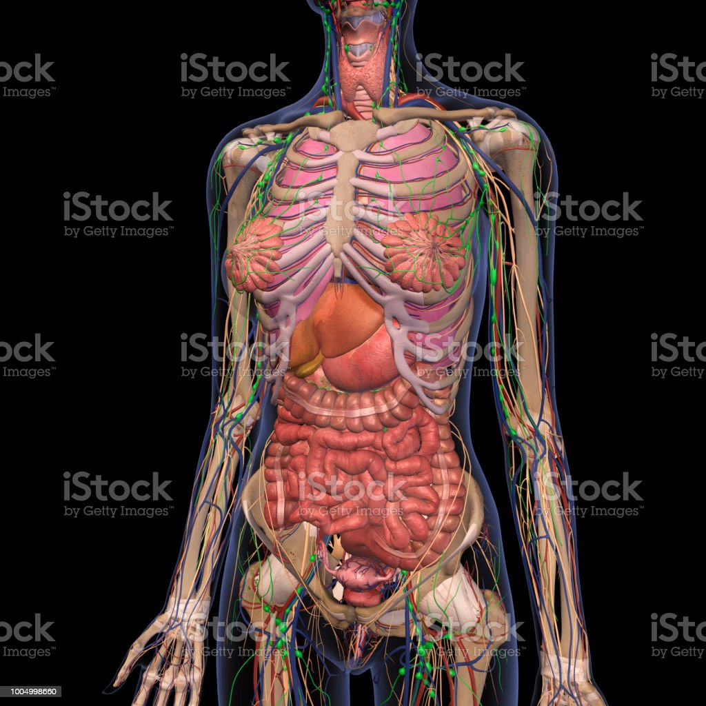hight resolution of human anatomy of female chest and abdomen 2 royalty free stock photo