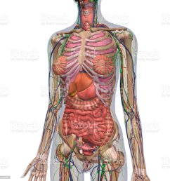 human anatomy of female chest and abdomen royalty free stock photo [ 1024 x 1024 Pixel ]