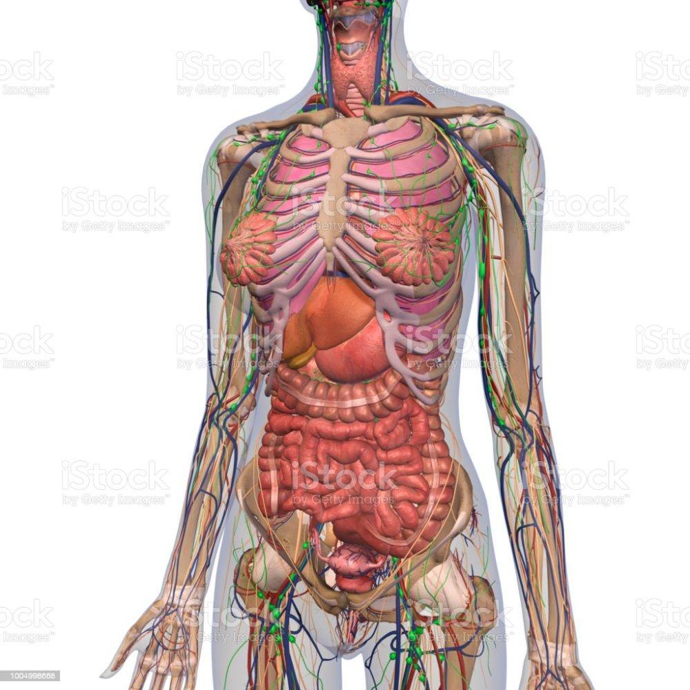 medium resolution of human anatomy of female chest and abdomen royalty free stock photo