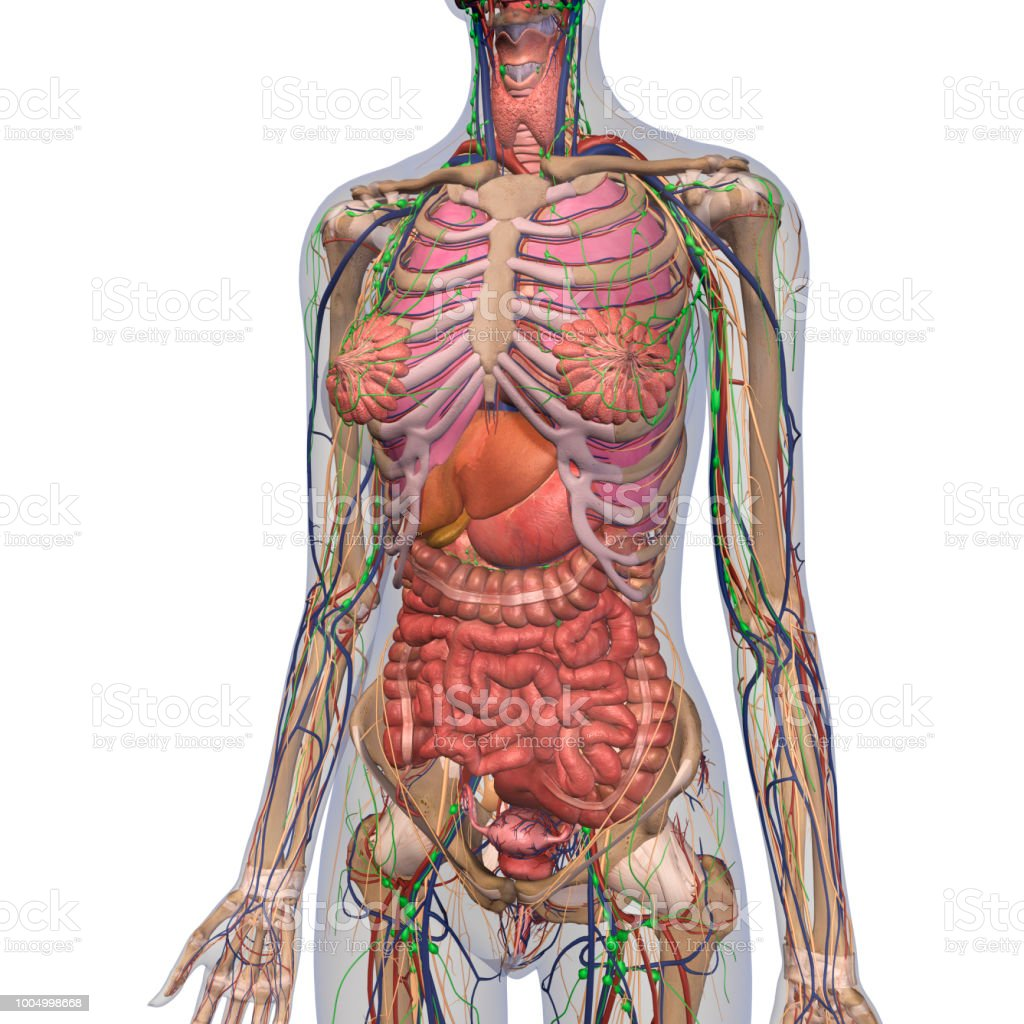 hight resolution of human anatomy of female chest and abdomen royalty free stock photo