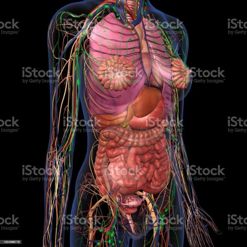 small resolution of human anatomy of female chest and abdomen royalty free stock photo