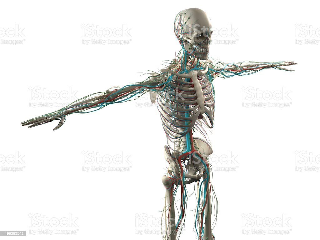 hight resolution of human anatomy showing face head shoulders and torso muscular system royalty free