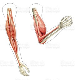 human arms anatomy diagram showing bones and muscles while flex royalty free stock photo [ 1024 x 904 Pixel ]