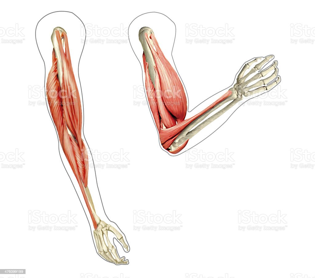 hight resolution of human arms anatomy diagram showing bones and muscles while flex royalty free stock photo
