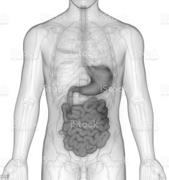 human digestive system anatomy stomach with small intestine royalty free stock photo [ 1024 x 1024 Pixel ]