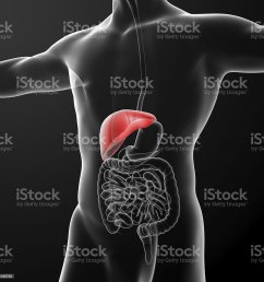 human digestive system liver red colored royalty free stock photo [ 1024 x 1024 Pixel ]