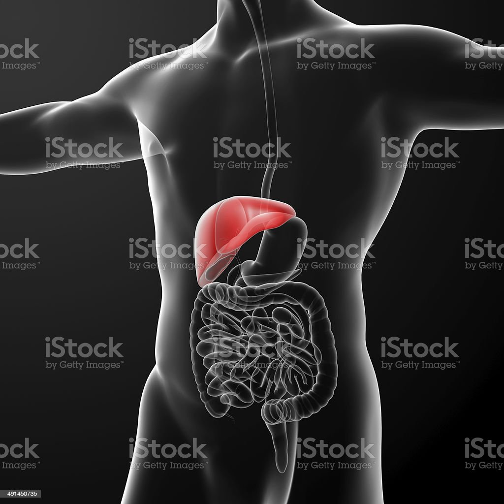 hight resolution of human digestive system liver red colored royalty free stock photo