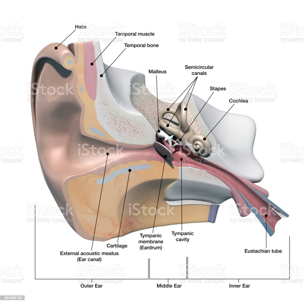 hight resolution of human ear anatomy cross section view with labeling on white royalty free stock photo