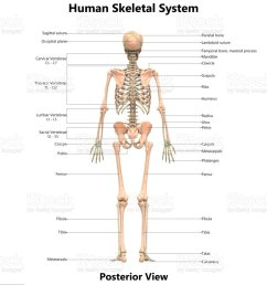 human skeletal system anatomy with detailed labels posterior view stock image  [ 910 x 1024 Pixel ]