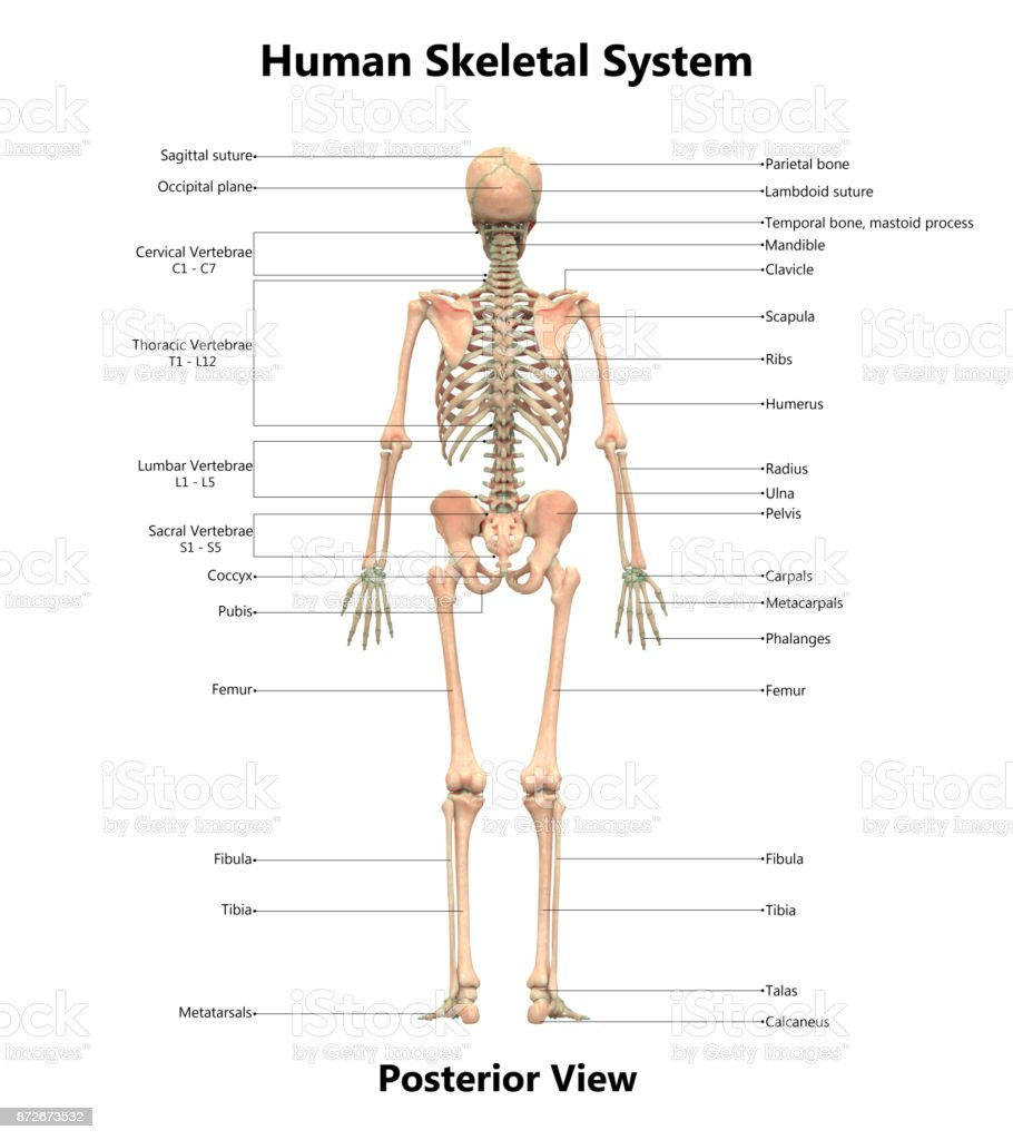 hight resolution of human skeletal system anatomy with detailed labels posterior view stock image