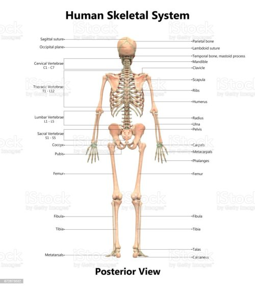 small resolution of human skeletal system anatomy with detailed labels posterior view stock image