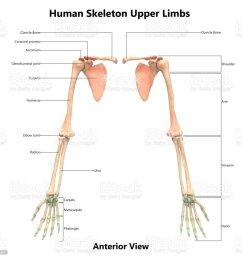 human skeleton system upper limbs anatomy with detailed labels anterior view stock image  [ 1024 x 973 Pixel ]