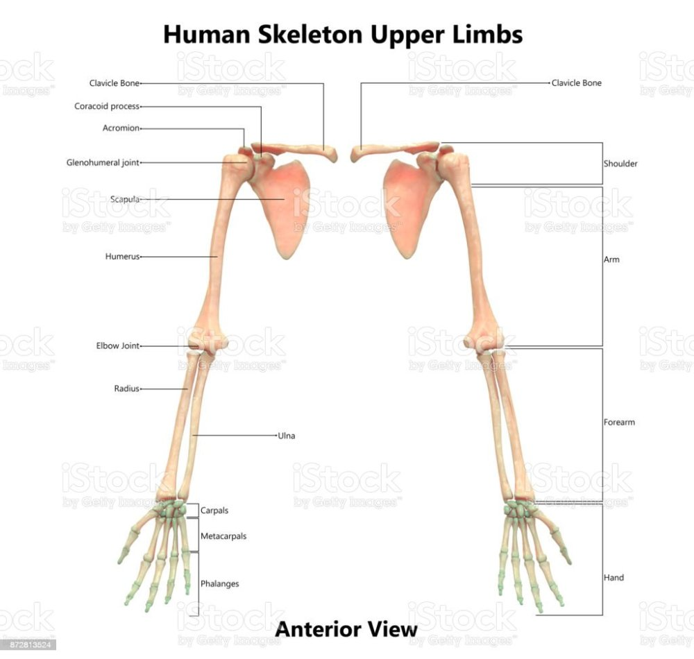 medium resolution of human skeleton system upper limbs anatomy with detailed labels anterior view stock image