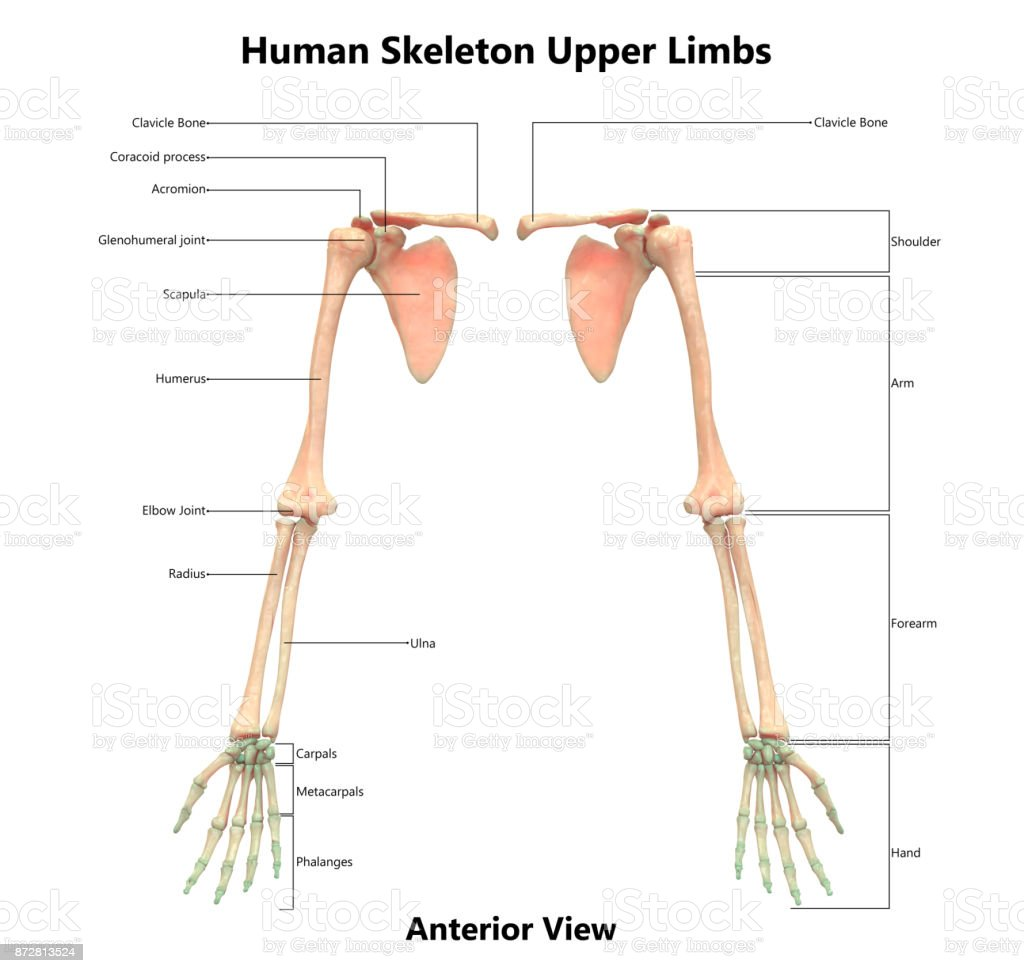 hight resolution of human skeleton system upper limbs anatomy with detailed labels anterior view stock image