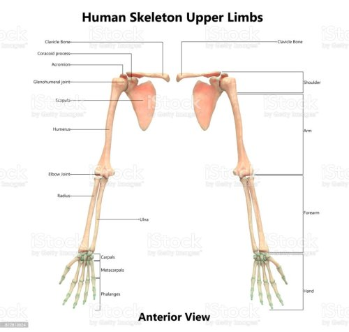 small resolution of human skeleton system upper limbs anatomy with detailed labels anterior view stock image