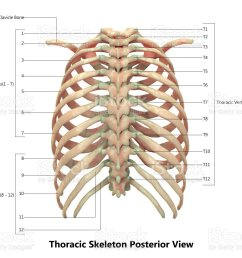 human skeleton system thoracic skeleton anatomy with detailed labels posterior view royalty free [ 1024 x 774 Pixel ]