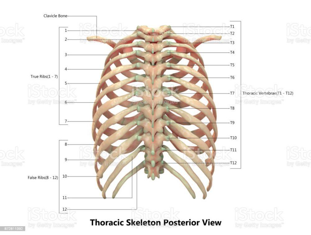 medium resolution of human skeleton system thoracic skeleton anatomy with detailed labels posterior view royalty free