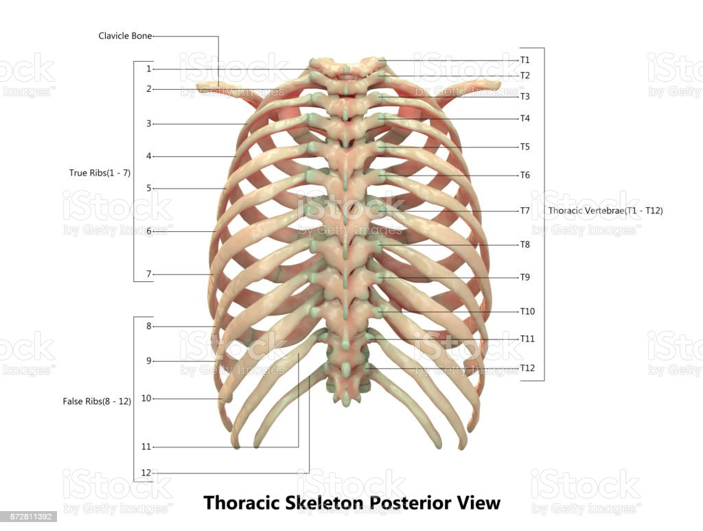 hight resolution of human skeleton system thoracic skeleton anatomy with detailed labels posterior view royalty free