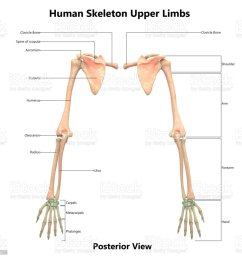 human skeleton system upper limbs anatomy with detailed labels posterior view royalty free [ 1024 x 973 Pixel ]