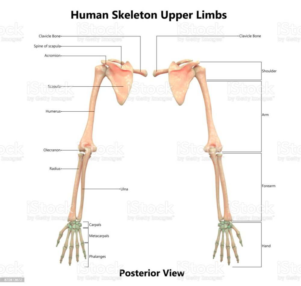 medium resolution of human skeleton system upper limbs anatomy with detailed labels posterior view royalty free
