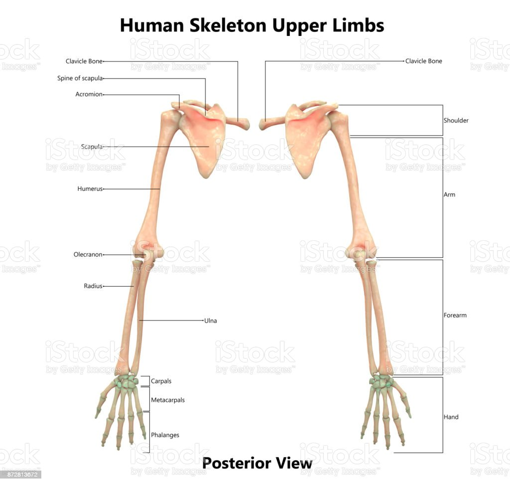 hight resolution of human skeleton system upper limbs anatomy with detailed labels posterior view royalty free