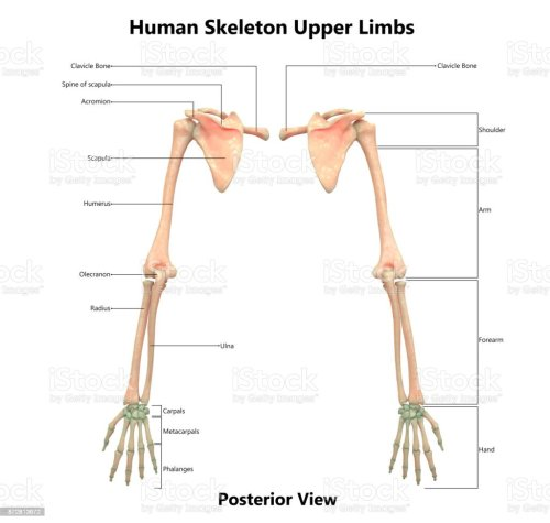 small resolution of human skeleton system upper limbs anatomy with detailed labels posterior view royalty free