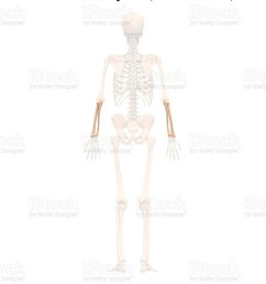 human skeleton system radius and ulna anatomy posterior view royalty free stock photo [ 845 x 1024 Pixel ]