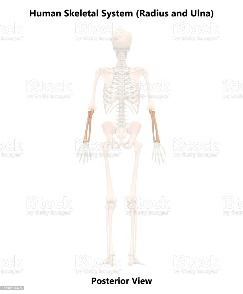 hight resolution of human skeleton system radius and ulna anatomy posterior view royalty free stock photo