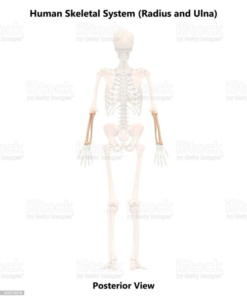 small resolution of human skeleton system radius and ulna anatomy posterior view royalty free stock photo