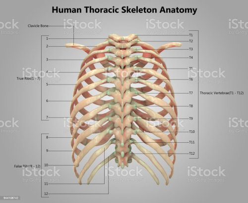small resolution of human skeleton system thoracic skeleton label design anatomy stock image