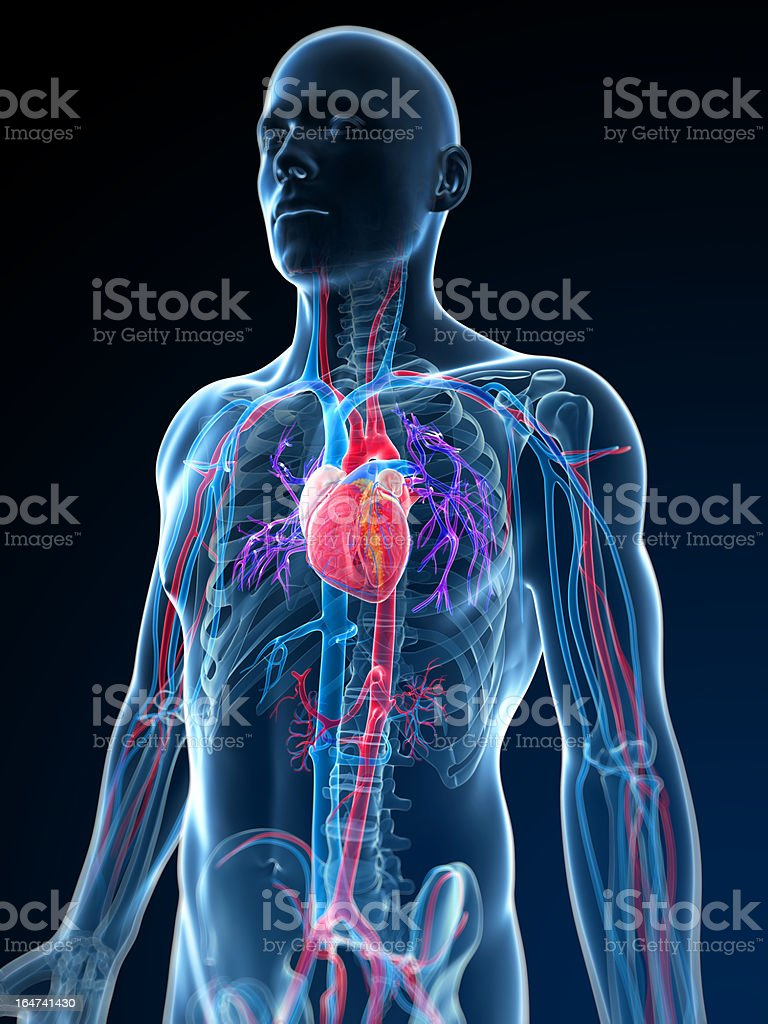 human vascular anatomy diagram trailer wiring 7 pin 5 wires australia system stock photo more pictures of istock image