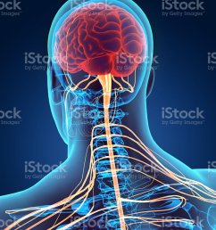 3d illustration male nervous system stock photo [ 805 x 1024 Pixel ]