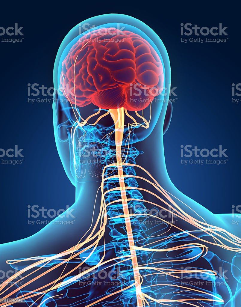 hight resolution of 3d illustration male nervous system stock photo