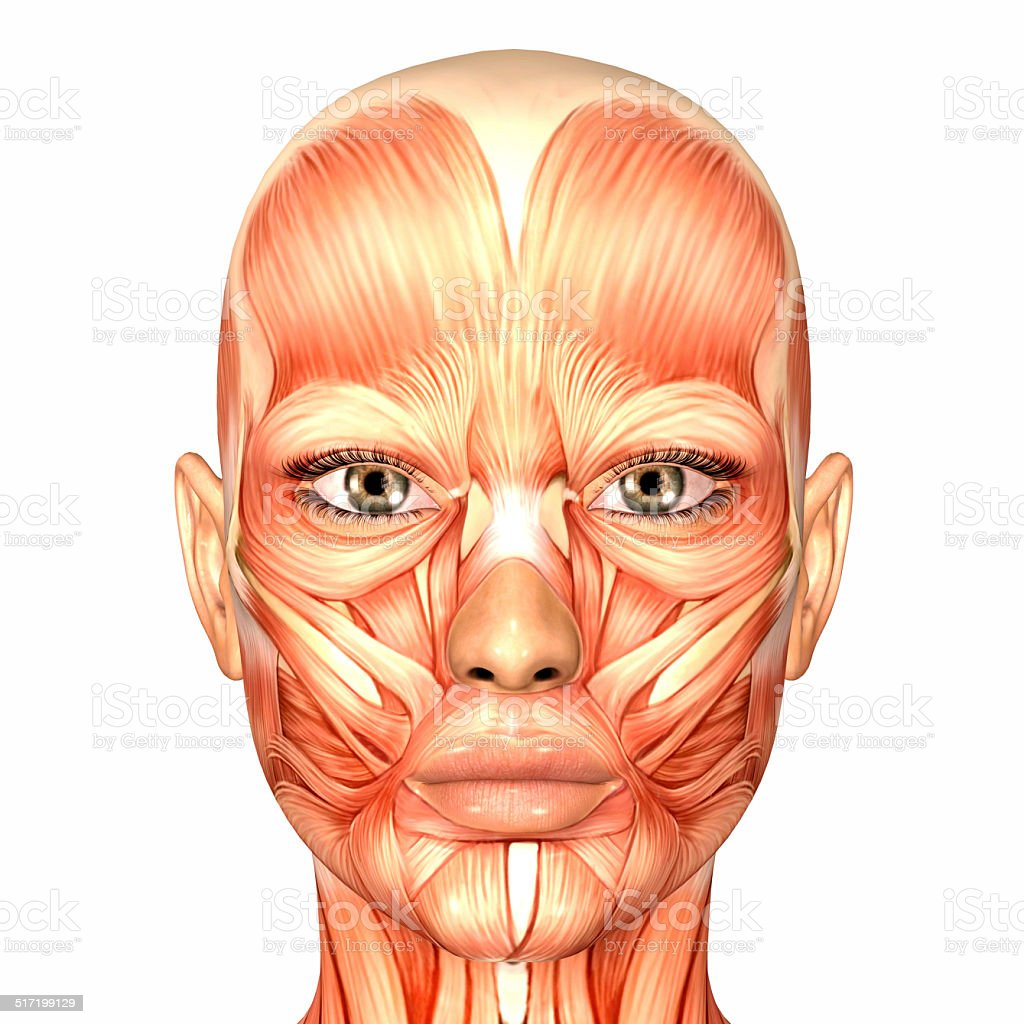 hight resolution of illustration of the anatomy of a female human face stock image