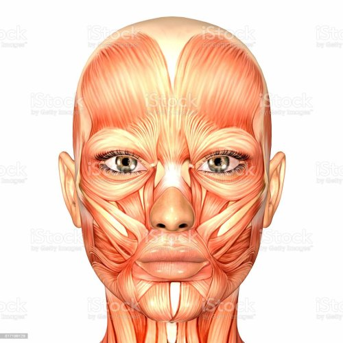 small resolution of illustration of the anatomy of a female human face stock image