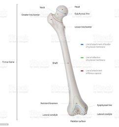 infographic diagram of human femur bone or leg bone anatomy system anterior view 3d  [ 1003 x 1024 Pixel ]